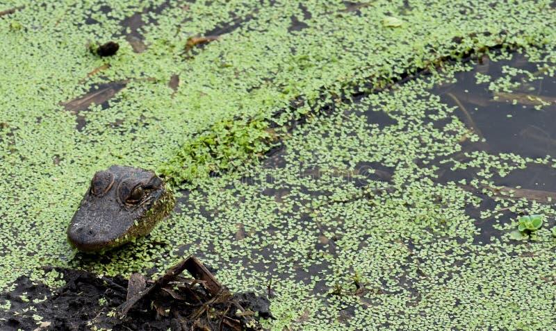 Alligatori ed alligatori del bambino sotto la copertura delle foglie in acque di Florida immagine stock libera da diritti