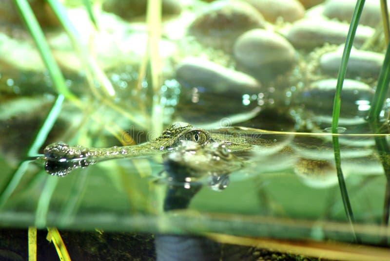 Alligatorn bevattnar in royaltyfria foton