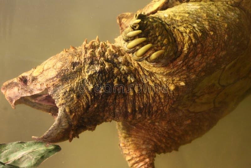 Alligatorreißende Schildkröte lizenzfreie stockfotos