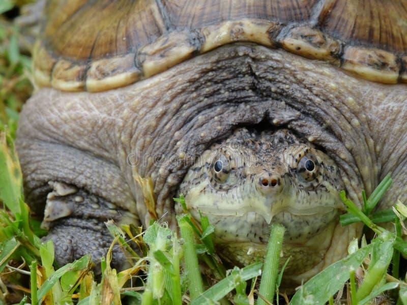 Alligatorreißende Schildkröte stockbild