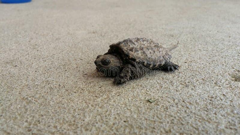 Alligatorreißende Schildkröte stockfotos