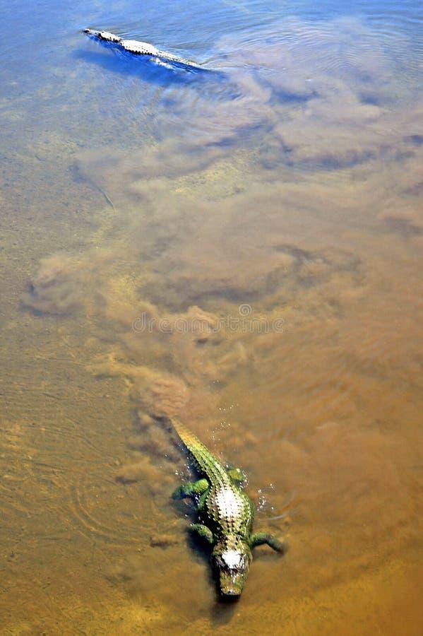 Alligators photos libres de droits