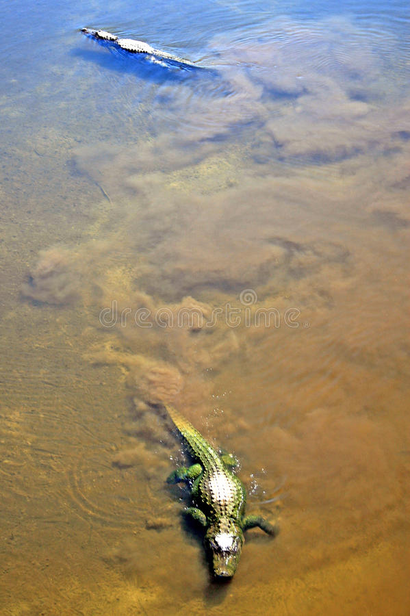 Alligators royalty free stock photos