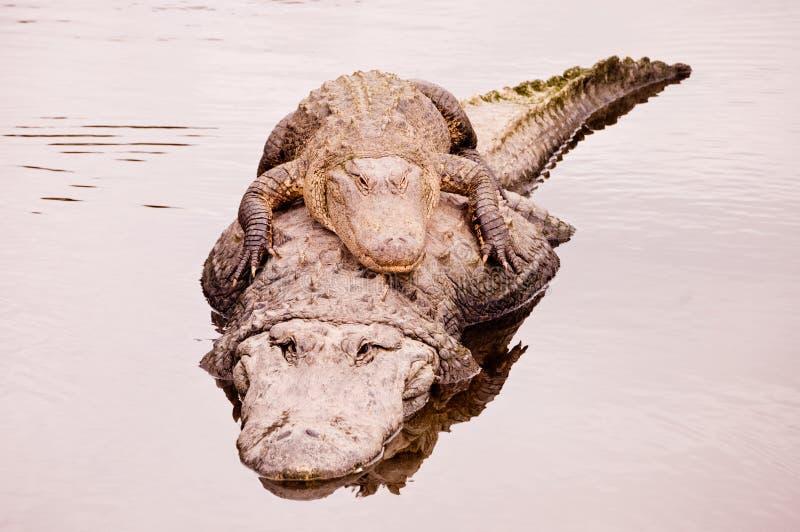 Alligators image stock