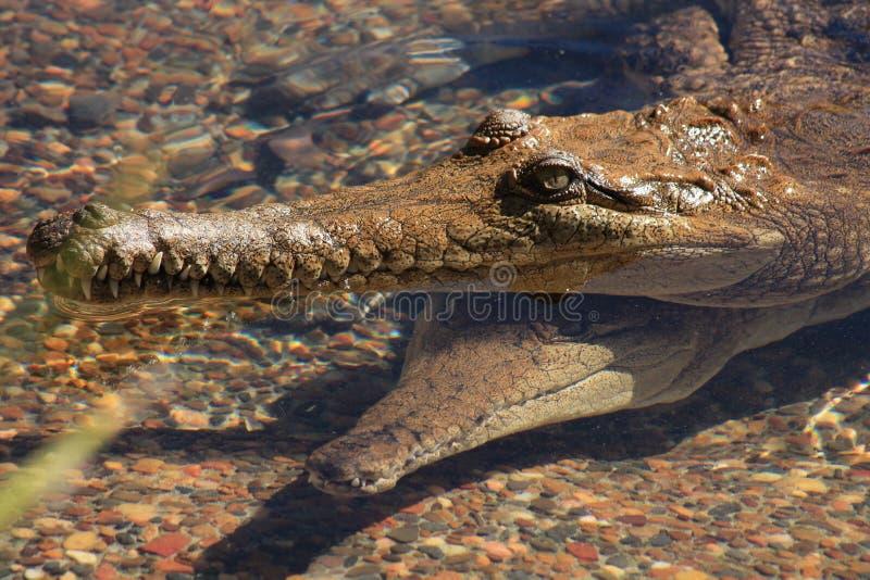 Alligators photo stock