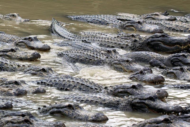 Alligators affamés photographie stock