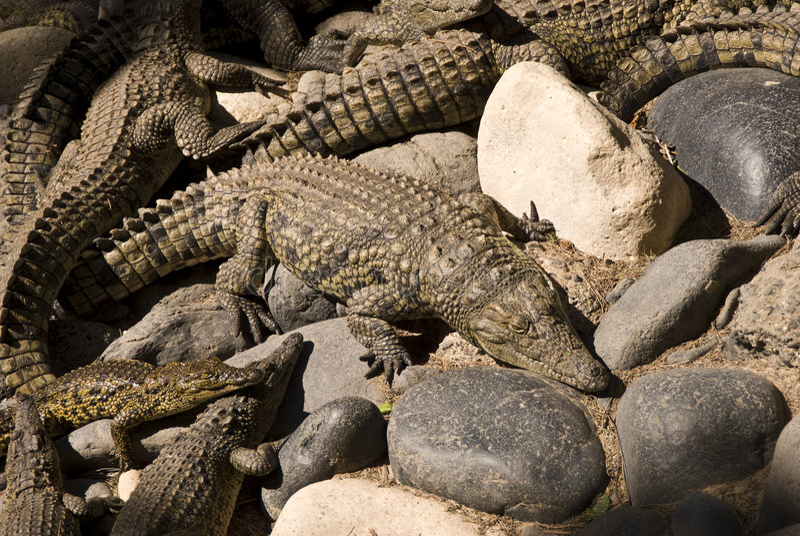 Alligators (Alligator Mississippiensis). Taken in a zoo in Fuerteventura, Spain royalty free stock photo