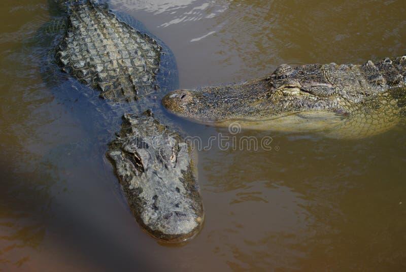Alligators américains image libre de droits