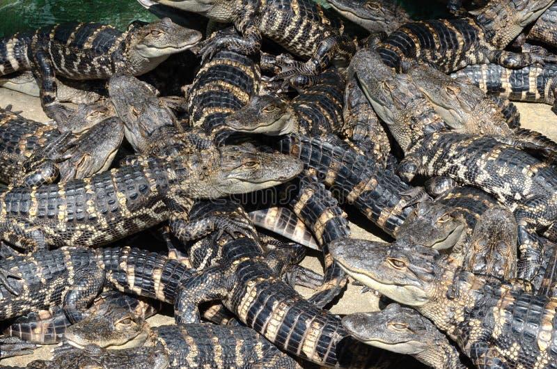 Alligators américains 6 de bébé photographie stock libre de droits