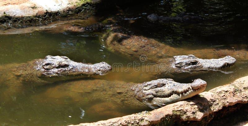 Alligators attendant la nourriture photos libres de droits