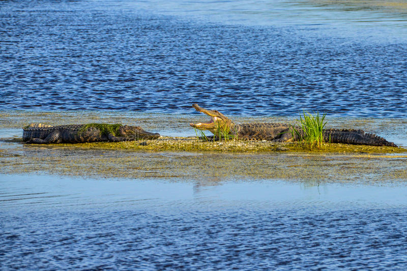 Alligators basking in the sun. Alligators are becoming a common sight along the swamps,lakes and rivers of coastal Carolinas royalty free stock photo