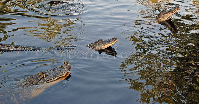 Alligators in the Bayou. These alligators were photographed in the Louisiana Bayou Southeast of New Orleans royalty free stock photography