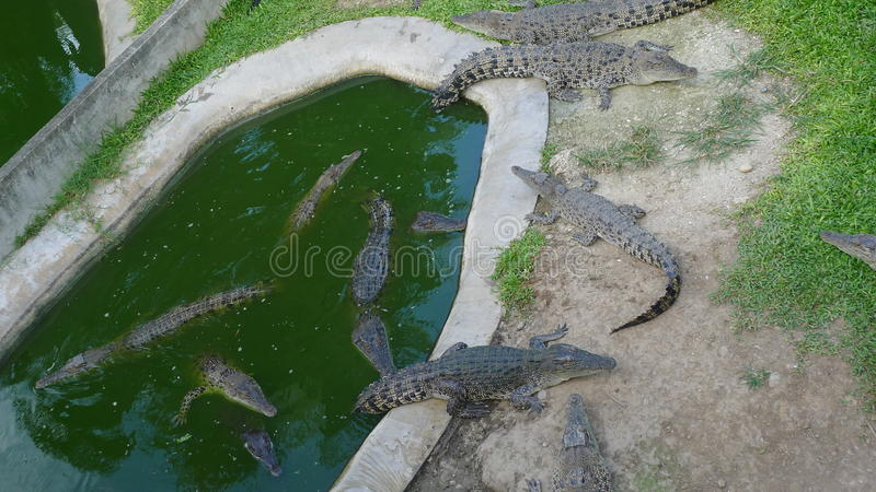 Alligators. Bunch of alligators in a pool royalty free stock images