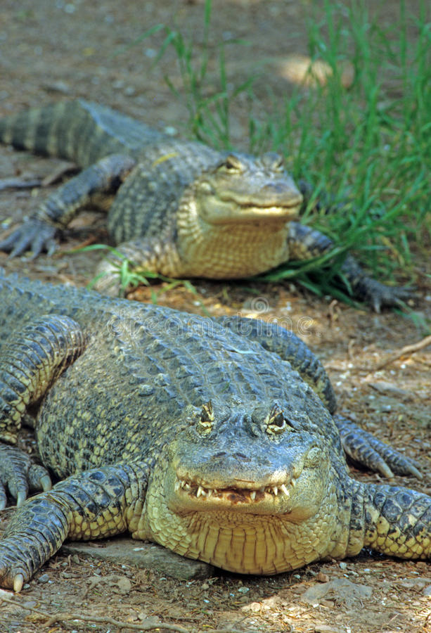 Alligators. At Catskill New York Game Farm: Alligator mississippiensis stock image