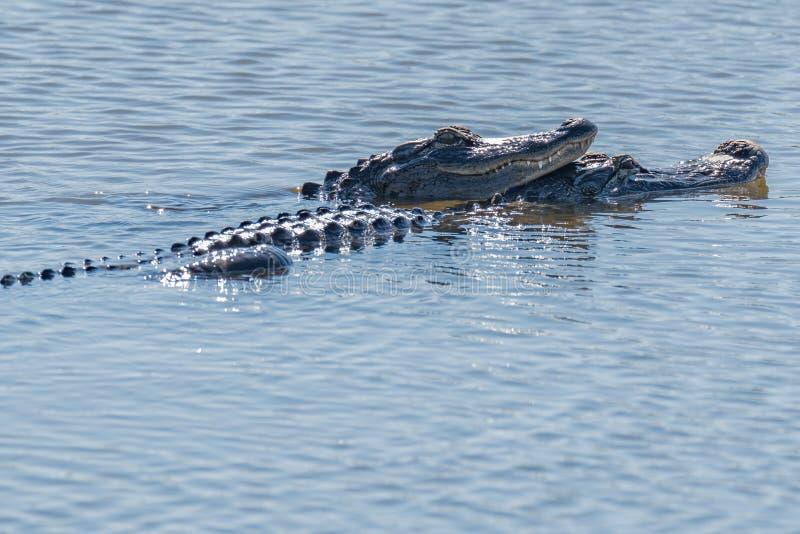 Alligators dans l'amour photo libre de droits