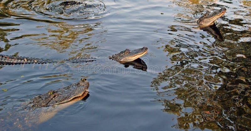 Alligators dans le bayou photographie stock libre de droits