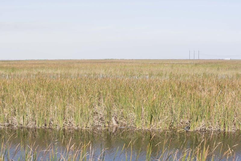 Alligators dans les marais photos stock