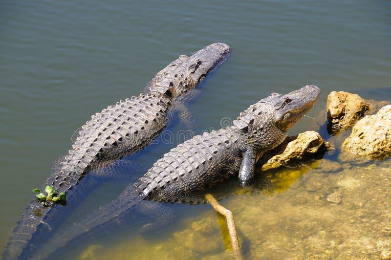 Alligators dans les marais photographie stock libre de droits