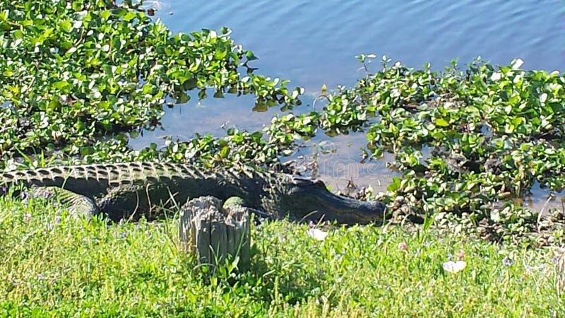 Alligators royalty free stock photography