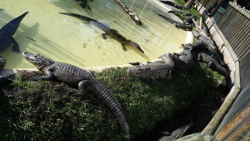 Alligators en Floride photos libres de droits