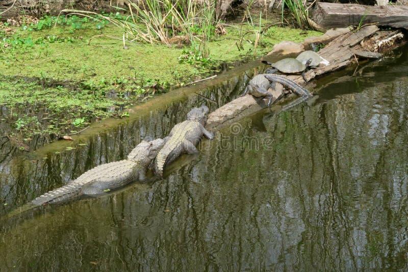 Alligators en schildpadden op een logboek royalty-vrije stock foto's