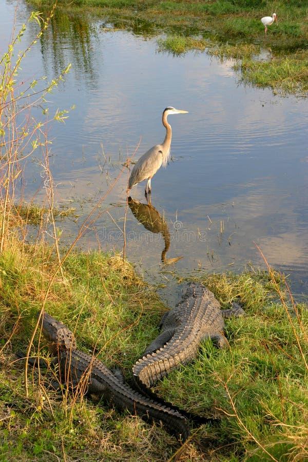 Alligators en Vogels stock foto's