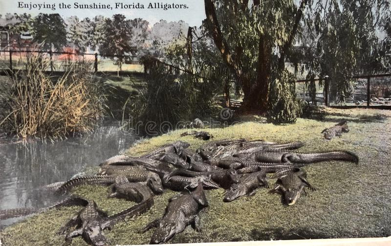 Florida alligators postcard vintage. Alligators laying outside in Florida vintage postcard stock images