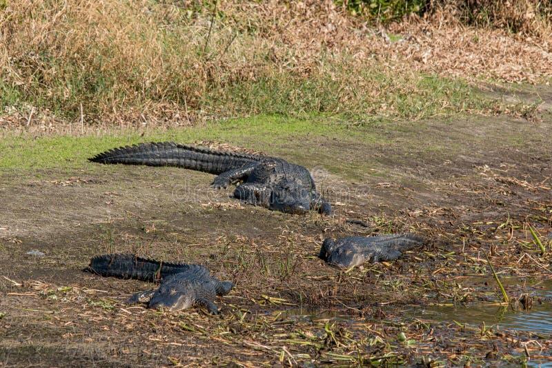 Alligators at Myakka State Park royalty free stock photo