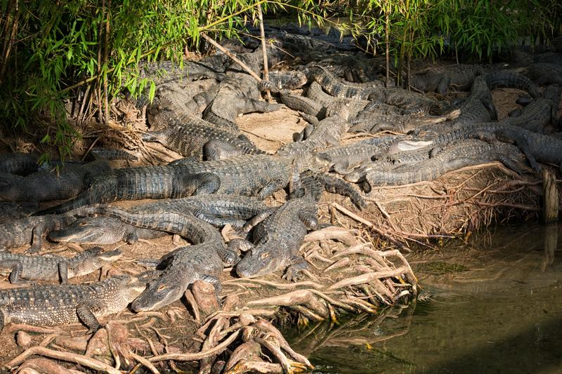 Alligators. Rest in a tangled mess at Alligator Adventure in North Myrtle Beach, SC stock photography