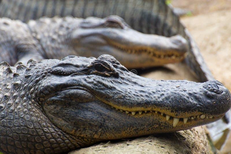 Alligators s'exposant au soleil images stock