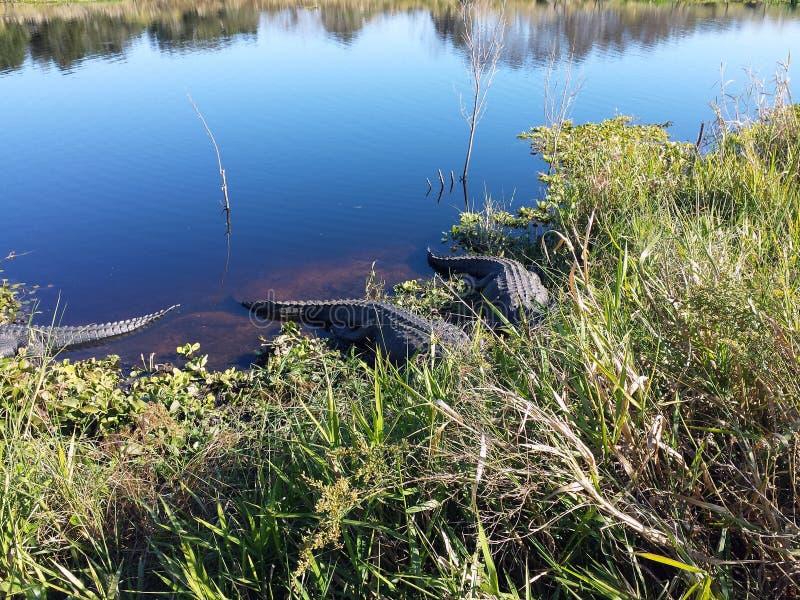 Alligators se cachant dans un lac photographie stock libre de droits