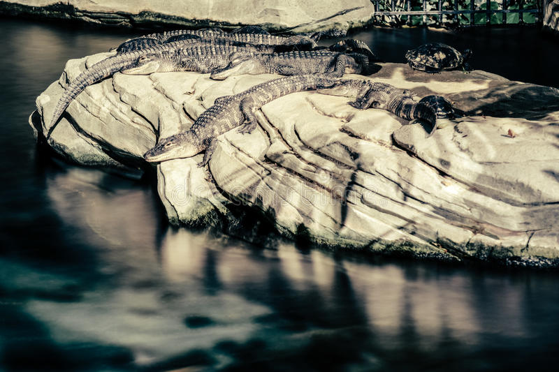 Alligators. Sunbathing on a rock stock photo