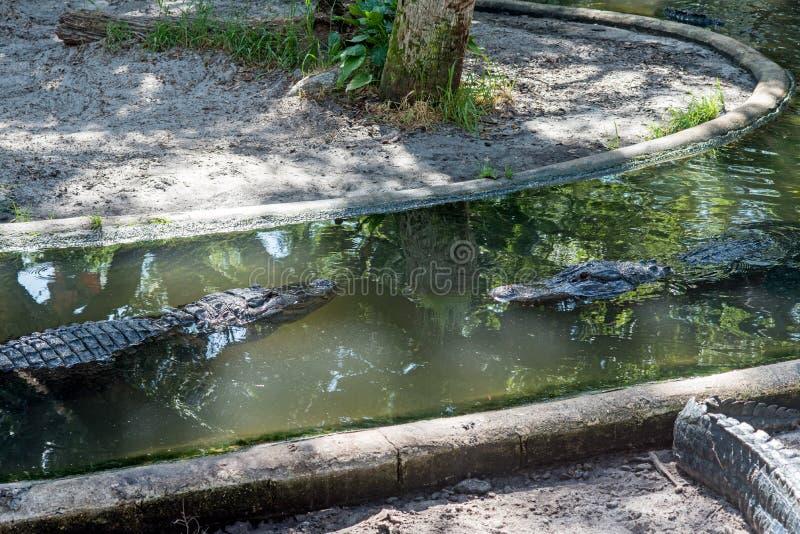 Alligators sur l'eau image stock