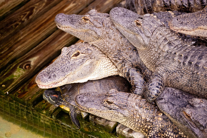 Alligators and turtle royalty free stock images