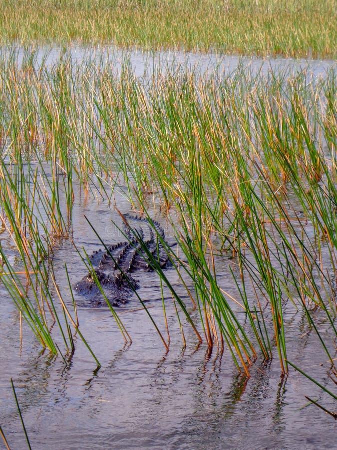 Alligatorsimning i Evergladesnationalparken arkivbilder