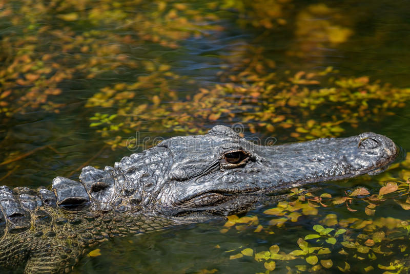 Alligatorsimning, nationell sylt för stor cypress, Florida arkivfoto