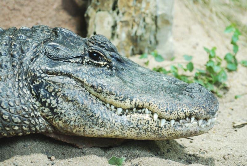 alligatorstående royaltyfri bild