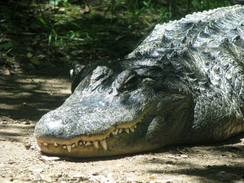 Alligatortand arkivbild