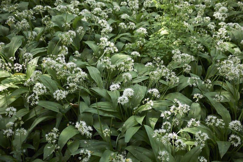 Allium άσπρα λουλούδια ursinum στοκ φωτογραφίες με δικαίωμα ελεύθερης χρήσης