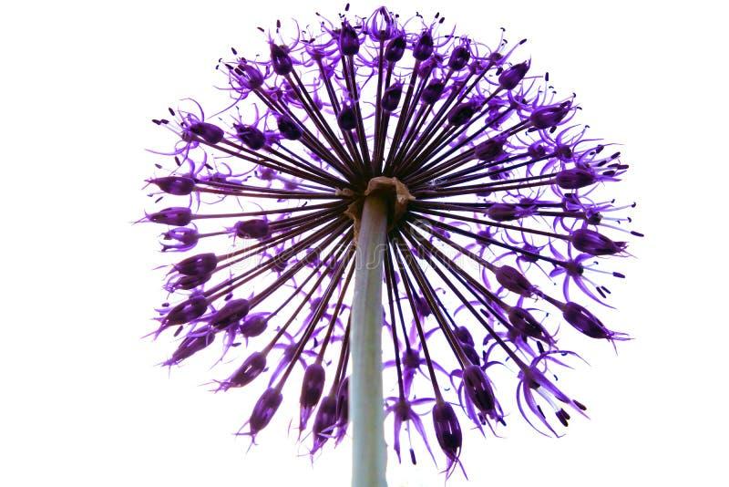 Allium διακοσμητική στρογγυλή florets λουλουδιών επικεφαλής διαμορφωμένη αστέρι μορφή σφαιρών στοκ εικόνα