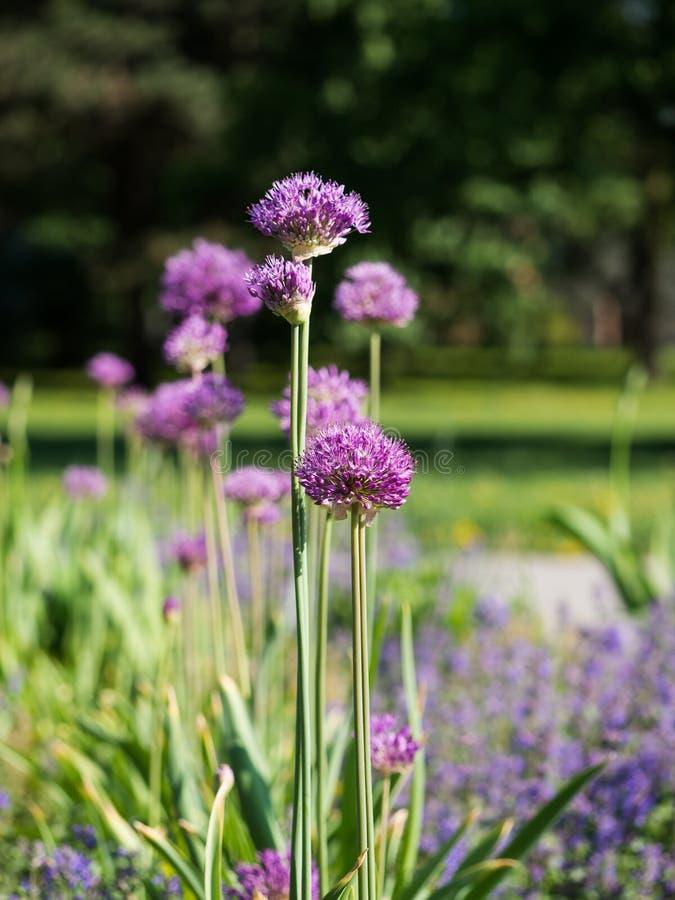 Allium περσικό κρεμμύδι cristophii ή αστέρι της Περσίας που ανθίζει την άνοιξη στοκ εικόνα