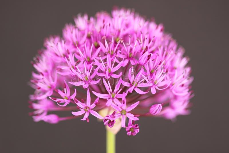 Download Allium stock image. Image of nature, stem, onion, perennial - 19550381