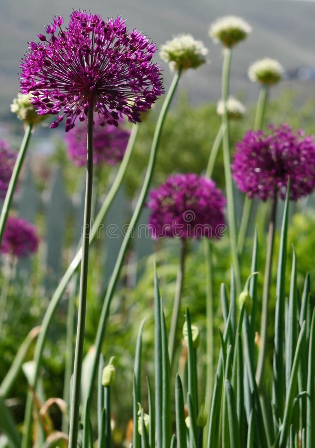 Download Allium stock photo. Image of flower, outdoor, perennial - 19551522
