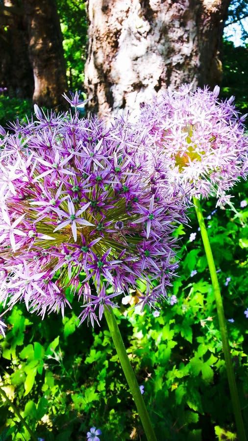 Allium fotos de archivo libres de regalías