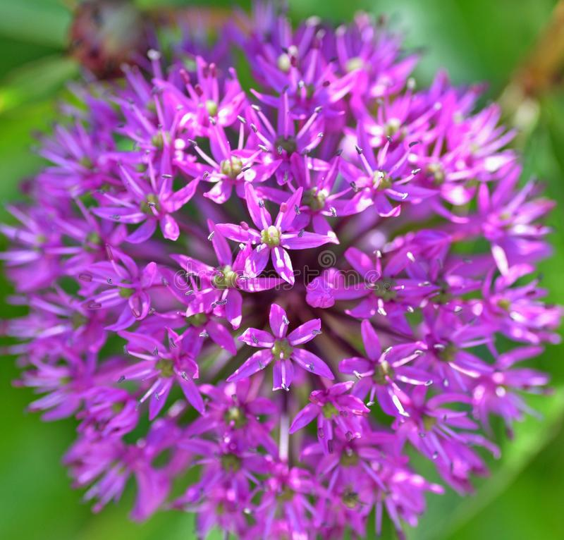Allium στοκ εικόνες