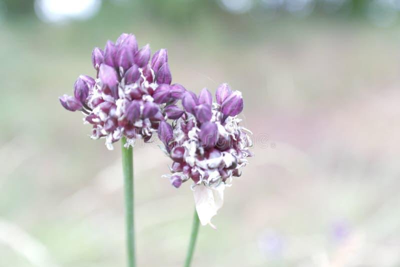 Allium obraz stock