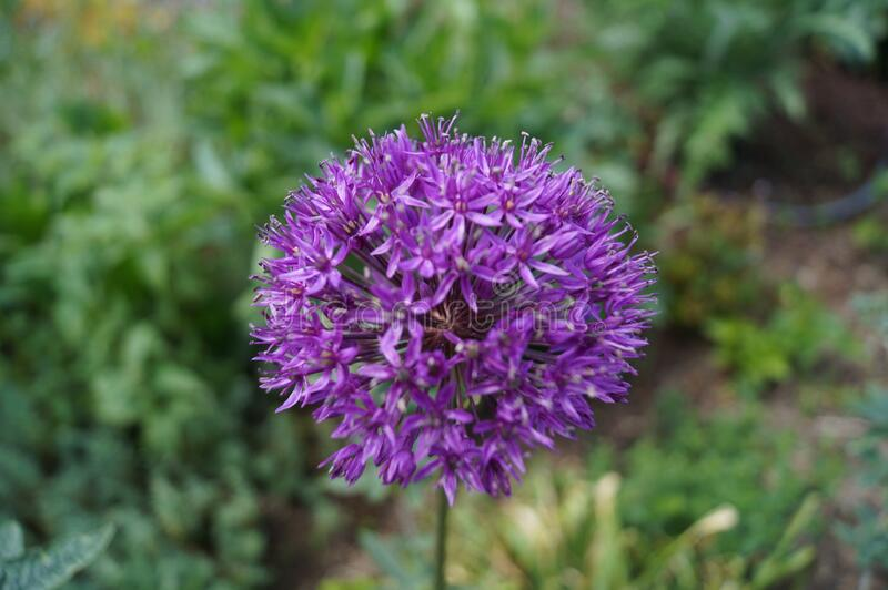 Allium aflatunense `Purple Sensation` is an impressive ornamental onion that impresses with its beautiful flower balls. Berlin royalty free stock photography