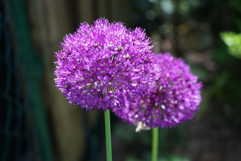 Allium aflatunense `Purple Sensation` is an impressive ornamental onion that impresses with its beautiful flower balls. Berlin stock image
