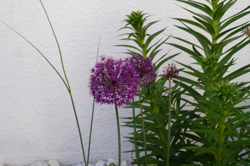 Allium aflatunense `Purple Sensation` is an impressive ornamental onion that impresses with its beautiful flower balls. Berlin stock photo