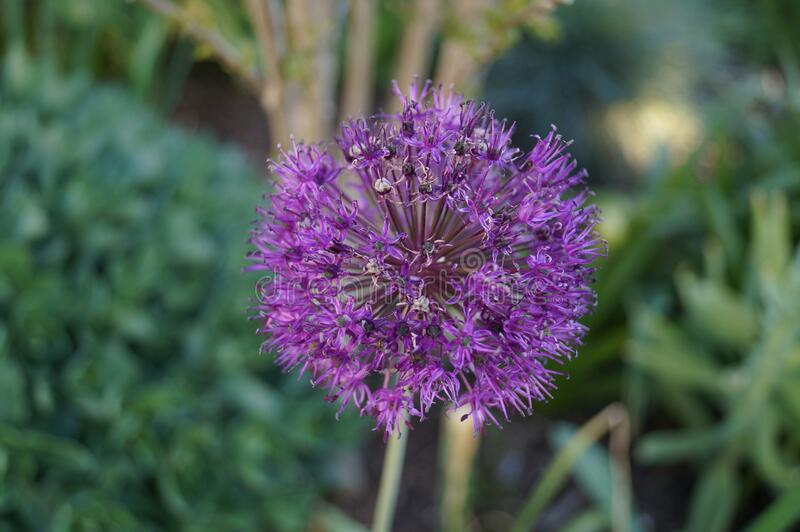 Allium aflatunense `Purple Sensation` is an impressive ornamental onion that impresses with its beautiful flower balls. Berlin royalty free stock photo
